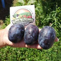 Giant Bosnian Plum Seeds...
