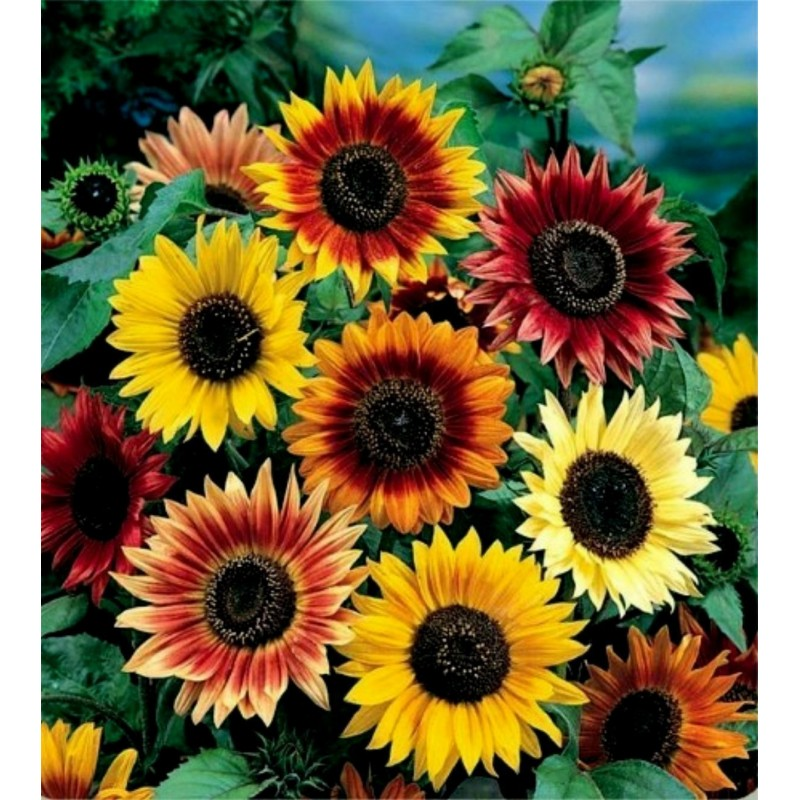 Garden Sunflower Seeds Multi Color