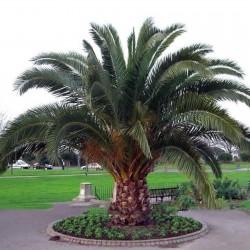 Canary Island Date Palm...