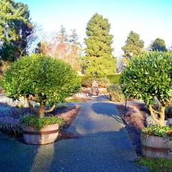 100 Seeds Bay Laurel, bay tree, true laurel (Laurus nobilis)  - 5