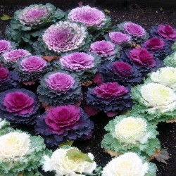 Ornamental cabbage Seeds