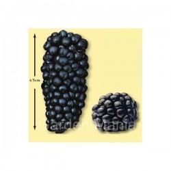 Σπόροι Μουριά Μαύρη (Morus nigra)