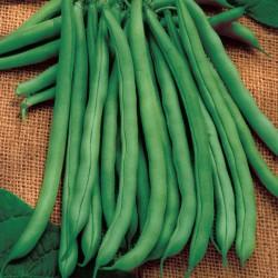 Babylon Bean Seeds