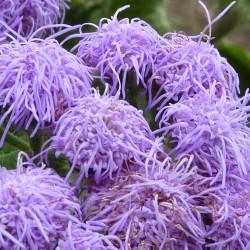 Blue Mink Seeds (Ageratum...