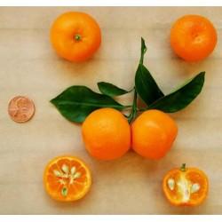 Sementes de Calamondín Naranjo chino