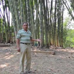 Sementes de bambu gigante...