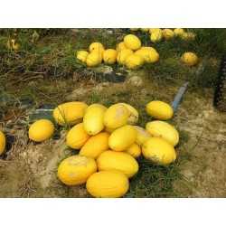 Sementes de Melão Amarelo Canaria