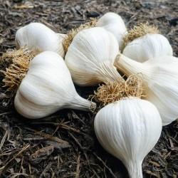 Bosnian garlic cloves Bosanac