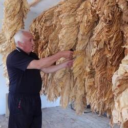 Tobacco seeds Hercegovacki...