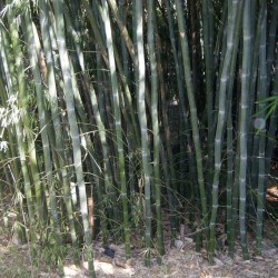 Vita bambufrön...