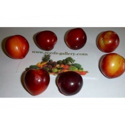 Semi Di Prunus Cerasifera Prugna Mirabolano