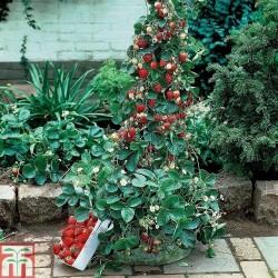 "Climbing Strawberry seeds ""Mount Everest"" (Fragaria x ananassa)"