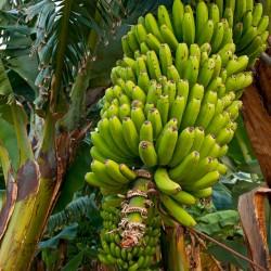 Sementes de banana da...