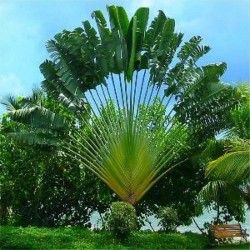 Travellers Palm Seeds...