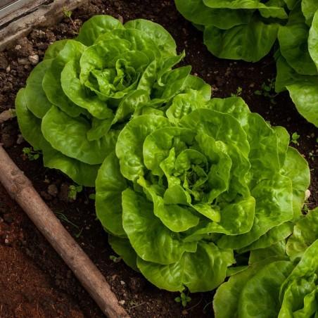 Semena salátu jarní hlavy Vuka