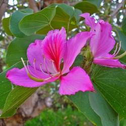 Orchideeënboom zaden...