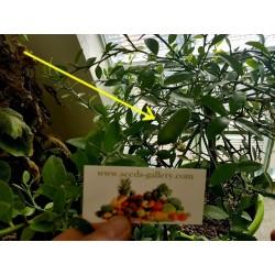 Semi di Caviale vegetale