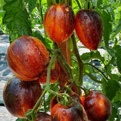 Seme paradajza, rajcice...