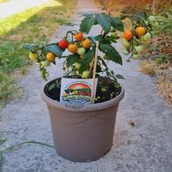 Sementes de tomate anão evita