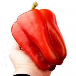 Giant F1 bell pepper seeds