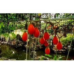Gac Exotic Fruit Seeds (Momordica cochinchinensis)