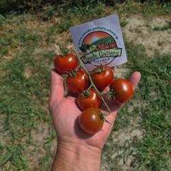 Graines de tomates Campari