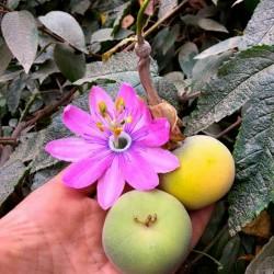 Насіння Tauso (Passiflora...