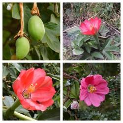 Tumbo magvak (Passiflora...