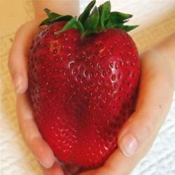 Γίγαντας φράουλας σπόρους