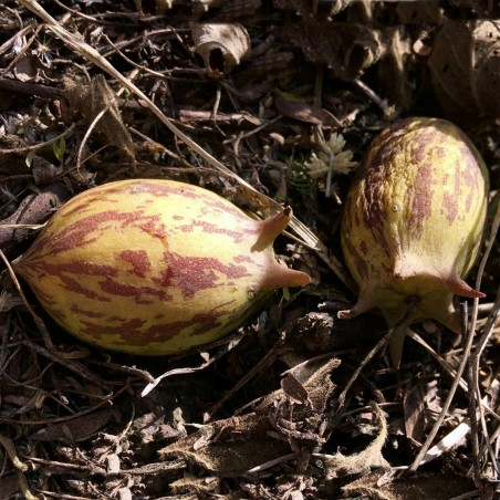 Graines de Granadina (Jarilla heterophylla)