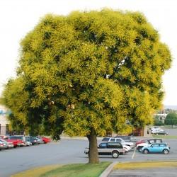 Bugás csörgőfa magok...