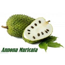 Sementes de Graviola (Annona muricata)