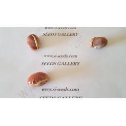 Semi Di Giaca, Catala, Jackfruit (Artocarpus heterophyllus)