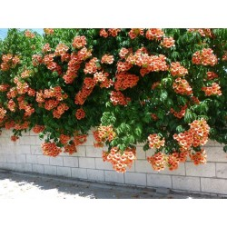 Trumpet vine or Trumpet creeper Seeds