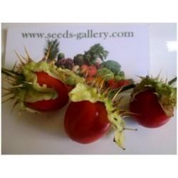 Sementes de Litchi Tomato - Morelle de Balbis