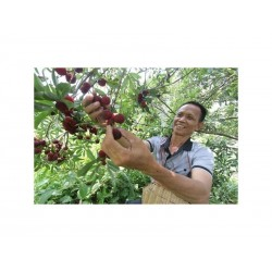 Semi di Giapponese bayberry rosso yumberry (Myrica rubra)