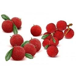 Pappelpflaume Samen chin. Erdbeere (Myrica rubra)