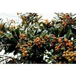 Japanische Wollmispel Samen (Eriobotrya japonica)