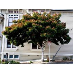 Sementes de Nespereira (árvore) (Eriobotrya japonica)
