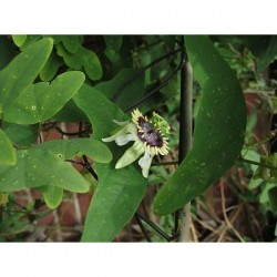 Semi Di Pianta Tropicale Passiflora (Passiflora colinvauxii)