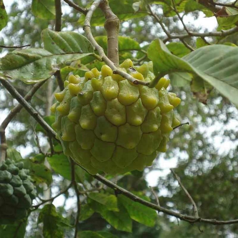 Semillas de Annona rara y poco conocida ANNONA EDULIS