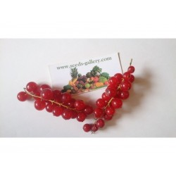 Sementes de Groselheira Vermelha (Ribes rubrum)