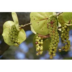 Seetraube Samen - Saatgut