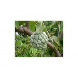 Secerna Jabuka Seme (Annona squamosa)