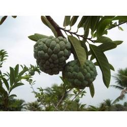 Exoticsher Rahmapfel Zimtapfel Samen