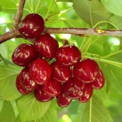 Sweet Cherry Seeds (Prunus avium)
