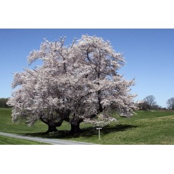 Herz-Kirsche Samen (Prunus avium subsp. juliana)
