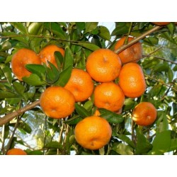 Sweet Mandarin orange Seeds (Citrus reticulata)