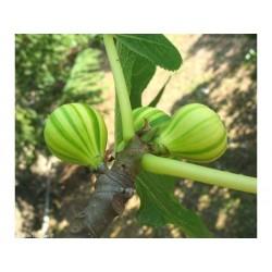 Fikon Frön Panache (Ficus Carica)