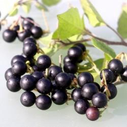 Semi di Sunberry